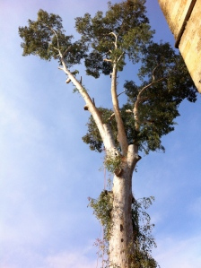 The 'young' 200+ aged eucalypt